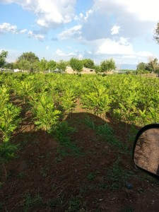 Healthy productive pecan trees ready for market